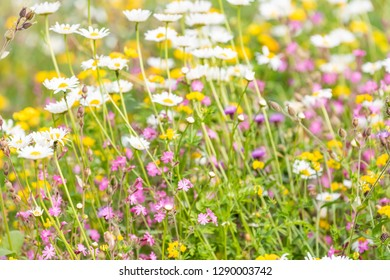 London, UK St James Park green grass weeds with white daisy and purple flowers in summer closeup pattern of bloom