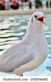 London, United Kingdom - 23rd April 2019. Close-up picture of a seagull in Trafalgar Square, London. The water of the fountain is on the background.