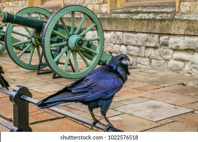 LONDON, UNITED KINGDOM - FEBRUARY 04, 2018: Captive Black Royal black raven - Common raven Corvus corax, one of the symbols of the Tower of London in the Tower of London, UK.