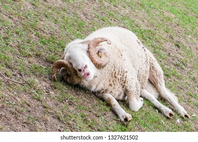 London, United Kingdom - September 08, 2018: Mudchute Farm. Largest city farm in London with a great collection of animals, near financial district Canary Wharf. Sheep resting
