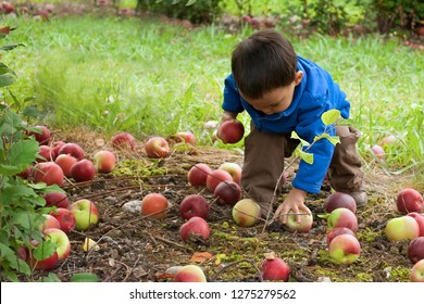 Londonderry, NH/USA-9/24/2011: Young child walks down a row of blooming apple trees at Mac's Orchard