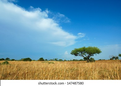 Lone Acacia Tree amongst a yellow field of grass in Waza National Park, Cameroon .