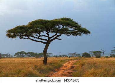 A lone Acacia tree with a dirt road running along beside it