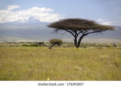 lone-acacia-tree-mount-kenya-260nw-17639