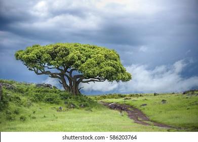 Lone Acacia Tree on a Country Roadside in Kenya