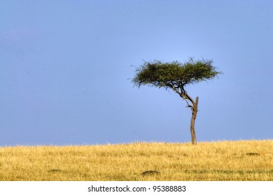 Lone acacia tree on the Masai Mara, Kenya