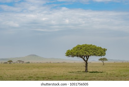 Lone acacia tree on the plains and savannah of Serengeti, Masai Mara and Ngorongoro crater in Kenya and Tanzania, East-Africa. African safari trip to wildlife