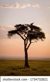 A lone acacia tree with roosting vultures on the savanna in Kenya at sunset
