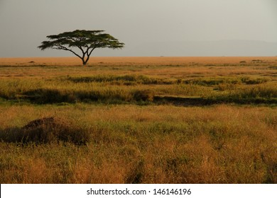 A lone acacia tree sitting in the colorful grasses of the African savannah