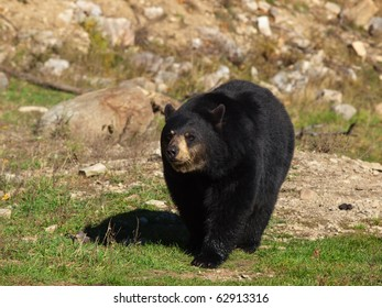 Lone adult black bear in Autumn