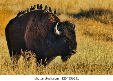 Lone American Bison in an Autumn Wheat Filed with European Starlings Riding on its Back