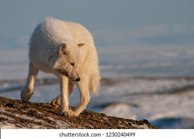 A lone arctic wolf.