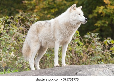 A lone Arctic Wolf in the fall