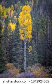 Lone Aspen Tree - Telluride Colorado - Amazing Yellow Fall Color