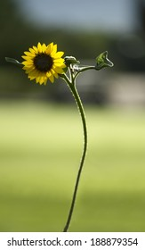 Lone beautiful bright sturdy yellow Sunflower