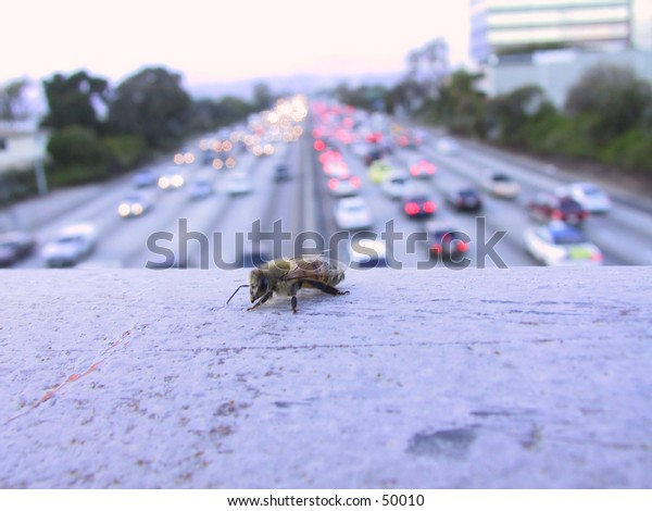 Lone Bee in Concrete Jungle of Los Angeles