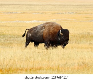 Lone Bison bull in Yellowstone National Park