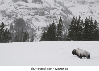 A lone bison trudges through deep snow trying to find food during a snowstorm in Yellowstone National Park, Wyoming.