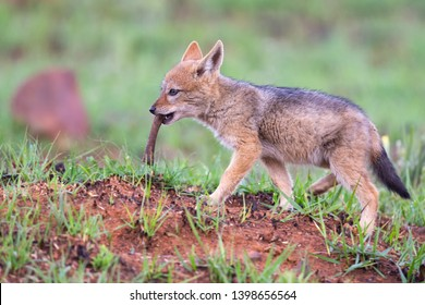 Lone Black Backed Jackal pup chewing on a bone in short green grass