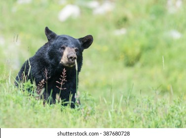 A lone Black Bear in some grass in summer