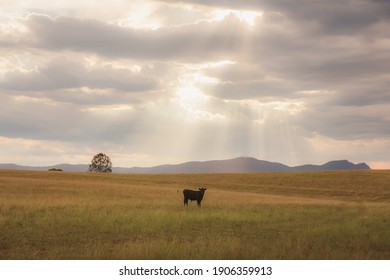A lone black lowline dairy cow (Bos primigenius) in a field with dramatic sunrays from above in the rural countryside landscape of the Hunter Valley wine region in NSW, Australia.