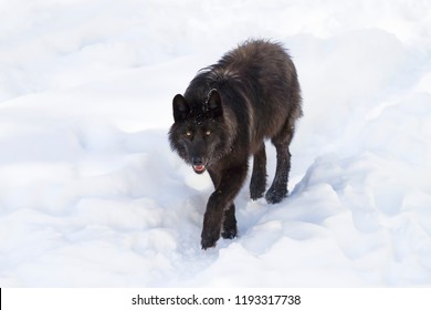 A lone Black wolf (Canis lupus) walking in the winter snow in Canada