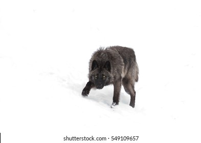 A lone Black wolf isolated on white background walking in the winter snow in Canada