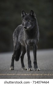 A lone black wolf scans his surroundings in Denali National Park and Preserve, Alaska.