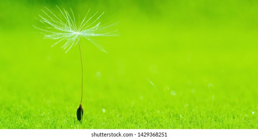 Lone blowball seed on a bright green background. Macro. Colorful Wide angle panorama for floral Wallpaper or Web banner