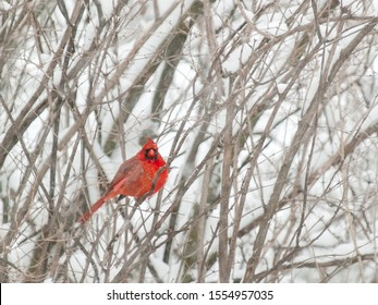 A lone bright red male cardinal sits amongst the grey snow-covered branches of shrub in winter