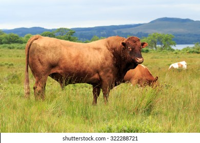 Lone Brown Dexter Bull standing in field in the Scottish Highlands