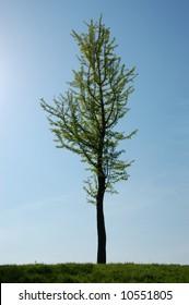 Lone budding tree in Spring.