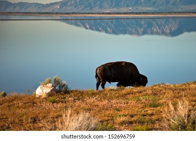 Lone buffalo next to calm lake