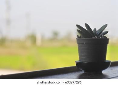 A lone cactus