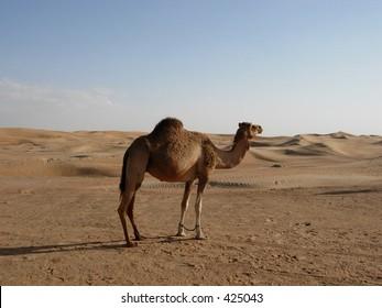 Lone Camel in a Desert
