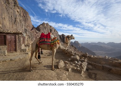 A lone camel dressed in red, green and yellow pom-poms overlooks the arid landscape atop Mount Sinai, Egypt.