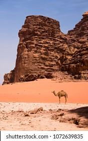 Lone Camel Wadi Rum