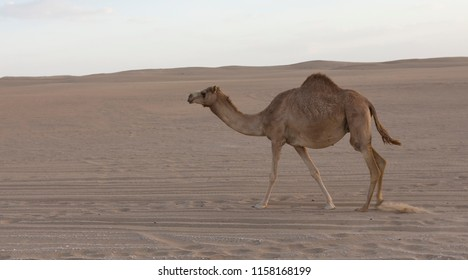 Lone camel walking along a road at sunset in the desert