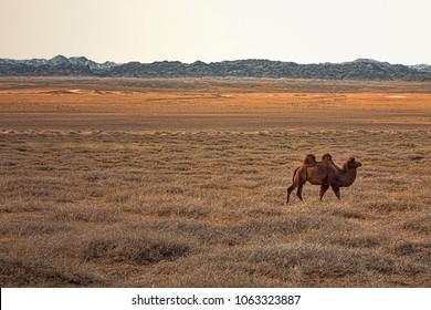 Lone Camel Walking through Arid Grassland in Gobi Desert with Mountains on Horizon (Mongolia).