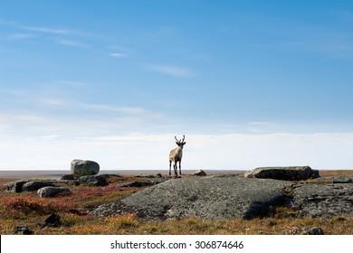 Lone Caribou on the Arctic Tundra, Nunavut, Canada