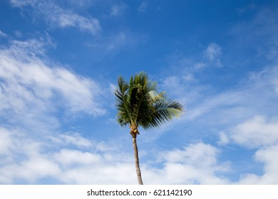 A lone coconut tree with a blue sky backdrop.