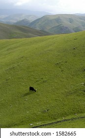 Lone cow grazes in foothills of Western landscape