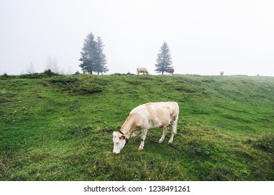 Lone cow grazing in the Swiss Alps fog