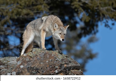 A lone coyote (Canis latrans) standing on a rocky cliff hunting in the winter snow in Montana, USA