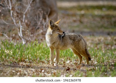 Lone coyote (Canis latrans) standing in the grass. Scotty's Castle,  Death Valley, California, USA