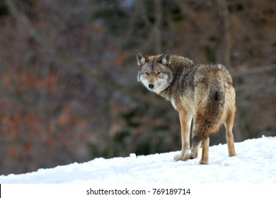 A lone coyote Canis latrans walking and hunting in the winter snow in Canada