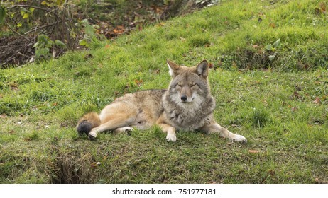 A lone coyote in the fall season