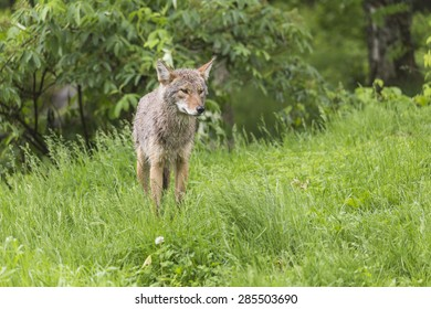 A lone coyote in a forested environment