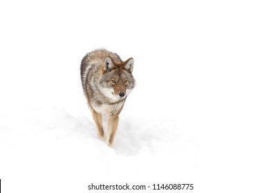 A lone coyote isolated on white background walking and hunting in the winter snow in Canada