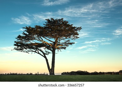 A lone cypress tree with a blue sky background before sunrise
